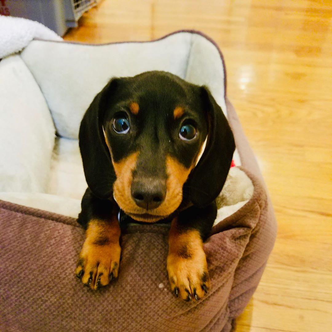 60 Micro Mini Dachshund Puppies You Will Love