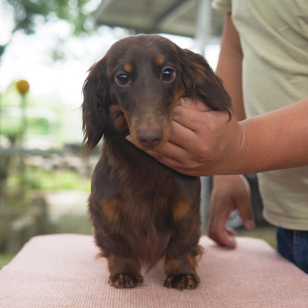 60 Micro Mini Dachshund Puppies You Will Love,#minidachshundpuppy#minidachshundsofinstagram#doxiemoments#featuremydachshund#dauchshundsofinstagram#dappledachshundsofinstagram#sausagedogoftheday#weinerdogs#weinerdogsofinstagram#weinerdoglove