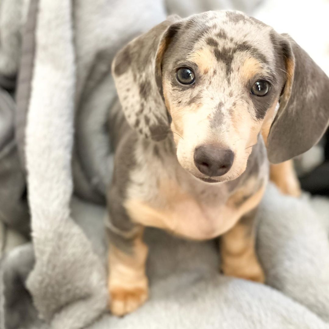 60 Micro Mini Dachshund Puppies You Will Love,#minidachshundpuppy#minidachshundsofinstagram#doxiemoments#featuremydachshund#dauchshundsofinstagram#dappledachshundsofinstagram#sausagedogoftheday#weinerdogs#weinerdogsofinstagram#weinerdoglove